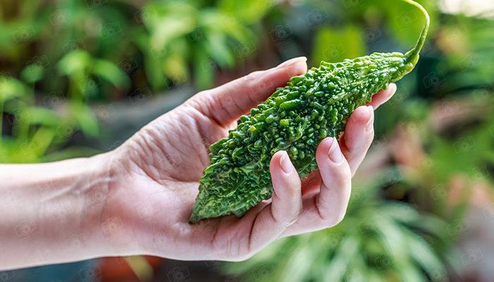 Hands hold Bitter melon, Bitter melon fresh organic green herb